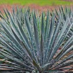 Excalibur Yucca, Adam's Needle, Curly Leaf Yucca, Spoon Leaf Yucca