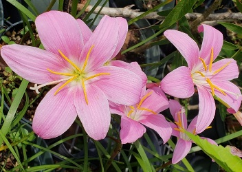 Pink Rainlily, Rosepink Zephyr Lily, Fairy Lily